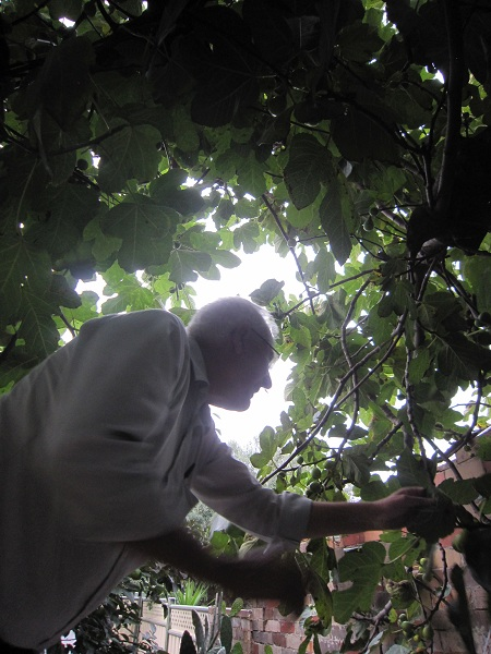 Uncle Tony in the middle of the fig tree