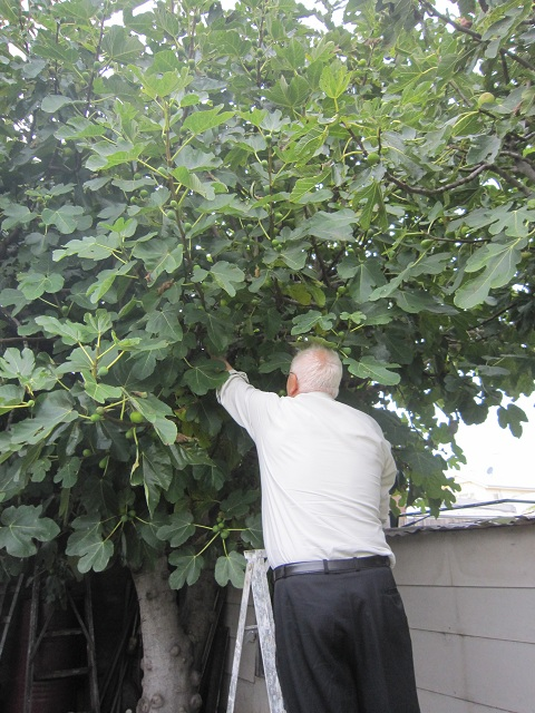 Zio Tony up the ladder in the fig tree